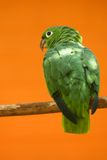 Parrot. Green parrot standing  on  a perch on  an orange bakground Stock Photos
