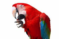 Parrot. Close-up shot isolated over white background Stock Photography