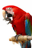 Parrot. Close-up shot isolated over white background Royalty Free Stock Photography