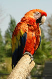 Parrot. A Colorful Macaw/Parrot on a Branch stock image