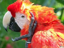 Parrot_4 Stock Images