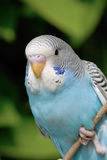 Parrot. A close up shot of Parrot Royalty Free Stock Photo