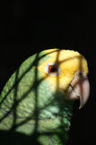 Parrot. In jail royalty free stock image