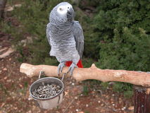 Grey Parrot. Portrait of a grey parrot with food Royalty Free Stock Photos