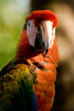 Parrot. Close portrait of a large exotic parrot Royalty Free Stock Photography