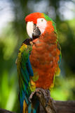 Parrot. Close portrait of a large exotic parrot Stock Image