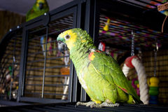 Parrot. Looking out of his cage Royalty Free Stock Photography