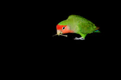 A parrot. Green eating (playing) parrot on isolated black background Stock Photography