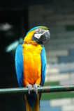 Parrot. The parrot sitting on the branch Royalty Free Stock Images