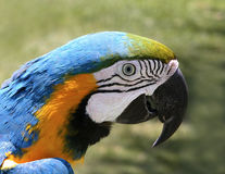 Parrot. Picture of a parrot with beautiful colors stock photos