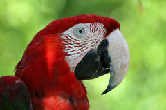 Parrot. A parrot portrait in front of a green background Stock Photo