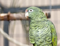 Parrot. Green lonely parrot in cage Stock Images