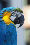 Parrot. A colorful parrot looking sideways royalty free stock images