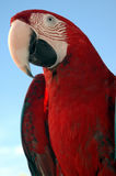 Parrot. Red parrot Royalty Free Stock Images