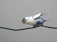 Parrot. Small white parrot sitting on the wire Royalty Free Stock Images