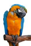 Parrot. One beautiful parrot with yellow feathers Royalty Free Stock Photo