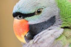 Portrait of parrot. Closeup side portrait of parrot Royalty Free Stock Photography