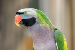 Parrot. A beautiful parrot has red beak and green gray black feathers Royalty Free Stock Images