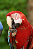 Parrot. Licking hand Stock Image