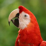 Parrot. Looking Royalty Free Stock Images