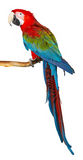 Parrot. Colorful parrot isolated in white background Royalty Free Stock Photos