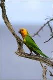 Parrot. On tree bonaire island Stock Photos