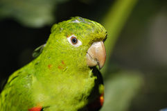 Parrot. S or Psittacines (order Psittaciformes) includes about 353 species of bird which are generally grouped into two families: the Cacatuidae or cockatoos Royalty Free Stock Photography