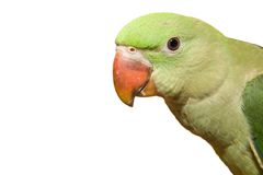 Parrot. A Green Feathered Parrot on a white background Stock Photo