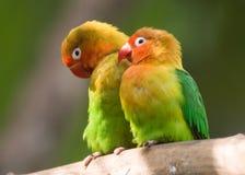 Fischers lovebird (Agapornis fischeri) Royalty Free Stock Image