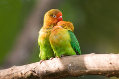 Fischers lovebird (Agapornis fischeri) Royalty Free Stock Photos