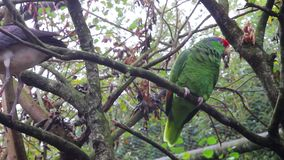 Parrot Afraid of Bird. Red-Crowned Amazon Parrot Afraid of Bird stock video footage