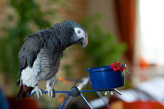 Parrot. African Greys parrot with currants Stock Photos