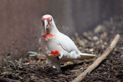 Parrot albino. The parrot albino walks on a cage with a water-melon slice Stock Photo