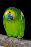 A parrot. An amazon parrot  in the zoo Royalty Free Stock Images