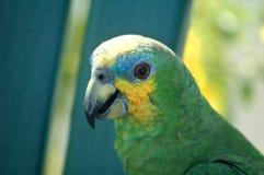 Parrot - amazona. Close-up image of amazon amazonica parrot Stock Photography