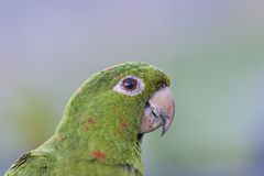 Parrot (Amazone). Close up on a parrot (Amazone Royalty Free Stock Photos