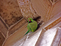 Parrot in ancient fort Stock Photography
