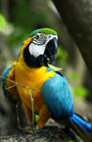 Parrot ara Royalty Free Stock Photography