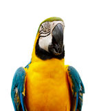 Parrot ara. At white background Royalty Free Stock Images