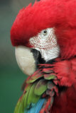 Parrot ara. Portrait of Parrot Ara when she cleaning feathers Stock Images