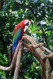 Parrot Ara Stock Photography