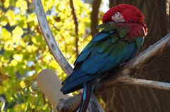 Parrot Ara royalty free stock images