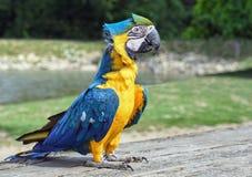 Parrot, Ara, Bird, Blue Macaw Stock Image