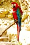 Parrot ara chloroptera Stock Photos