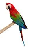 Parrot ara chloroptera Stock Image