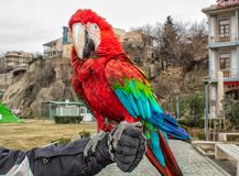 Parrot Ara in the city of Tbilisi. royalty free stock photos