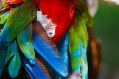 Parrot Ara cleans its wings Royalty Free Stock Image