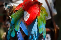 Parrot Ara cleans its wings Stock Photography