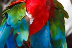 Parrot Ara cleans its wings Royalty Free Stock Images