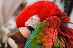 Parrot Ara cleans its wings Stock Image